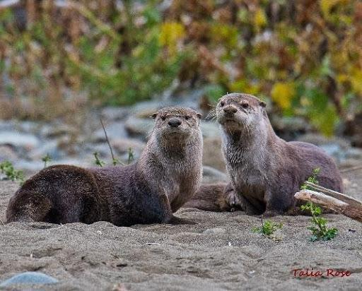 otters in the wild